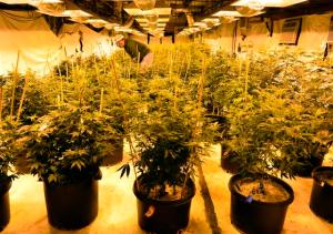 Cannabis Pot Culture