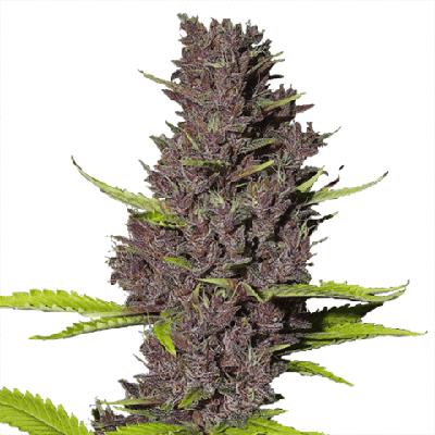 Blue Dream Cannabis Seeds USA