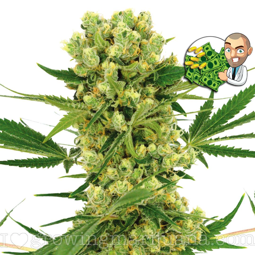 Buy Amnesia Haze Cannabis Seeds