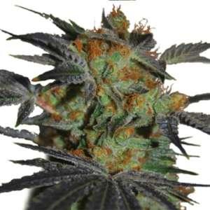 Agent Orange Seeds