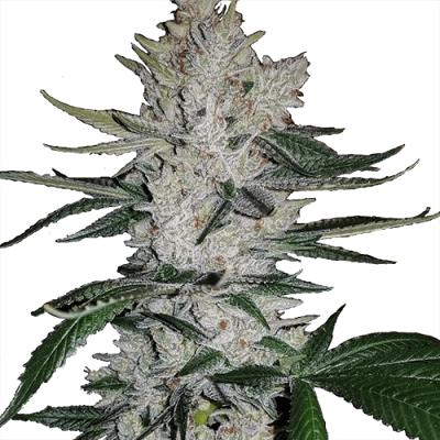 Gorilla Glue Seeds