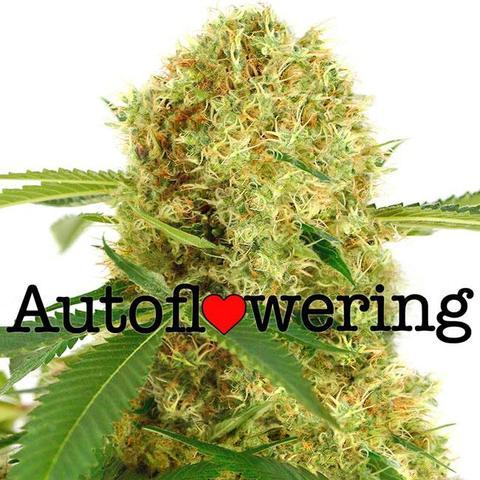 White Widow Autoflowering