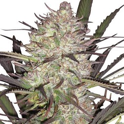 Durban Poison Cannabis Seeds