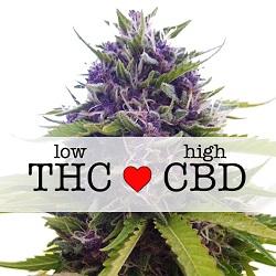 Blueberry CBD Medical Cannabis Seeds