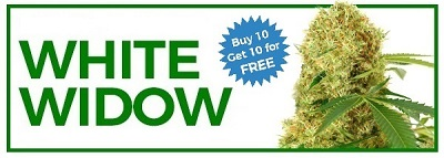 Free Cannabis Seeds White Widow