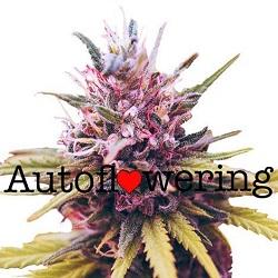 Zkittlez Autoflower Seeds