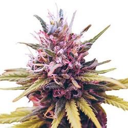 Zkittlez Cannabis Seeds