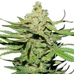 Cannatonic Cannabis Seeds