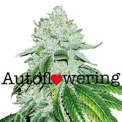 Gelato Autoflowering Seeds