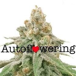 Wedding Cake Autoflower Seeds